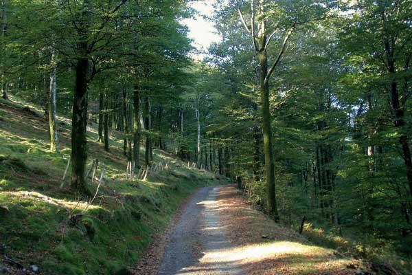 bosque de hayedos