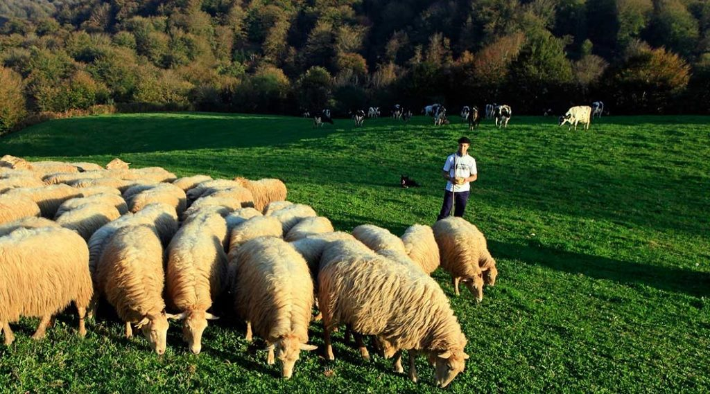 Rebaño de ovejas Kortariko gasna